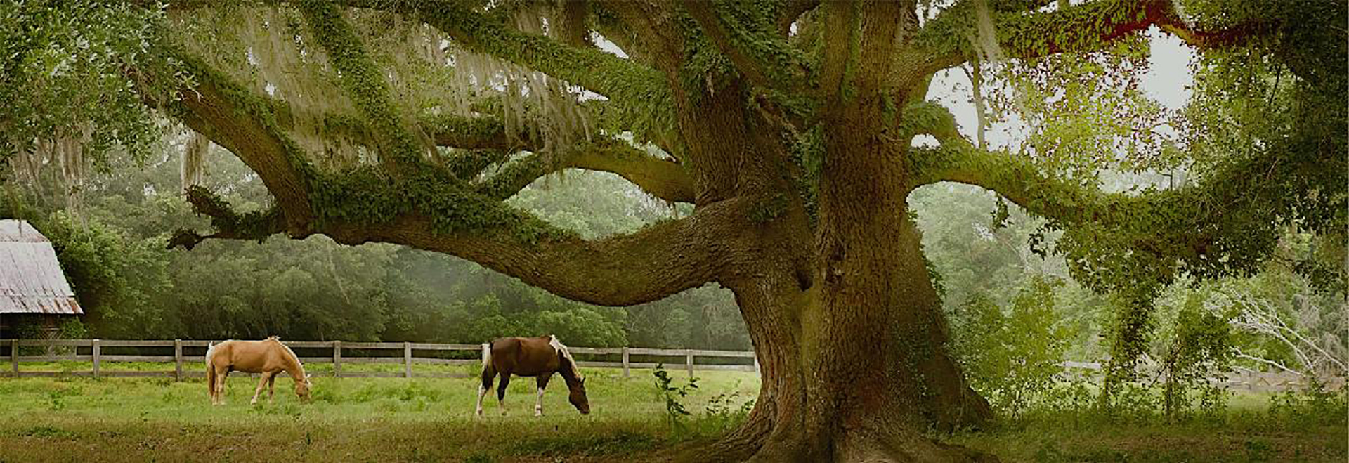 Horses in a pasture with large oak in Jefferson County Florida